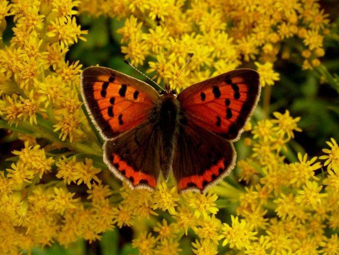 Lycaena phlaeas an Kanadischer Goldrute. - Leipzig-Connewitz, Wildpark 22.08.2008 - D. Wagler