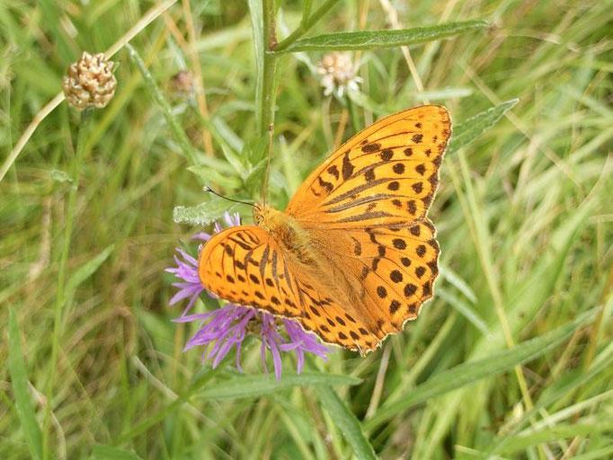 Argynnis paphia auf Wiesen-Flockenblume. - Oberholz, äußere Orchideenwiese 24.07.2005 - D. Wagler