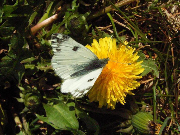 Pontia edusa an Gewöhnlichen Löwenzahn. - Bienitz, Südhang, Sandweg 21.04.2007 - D. Wagler