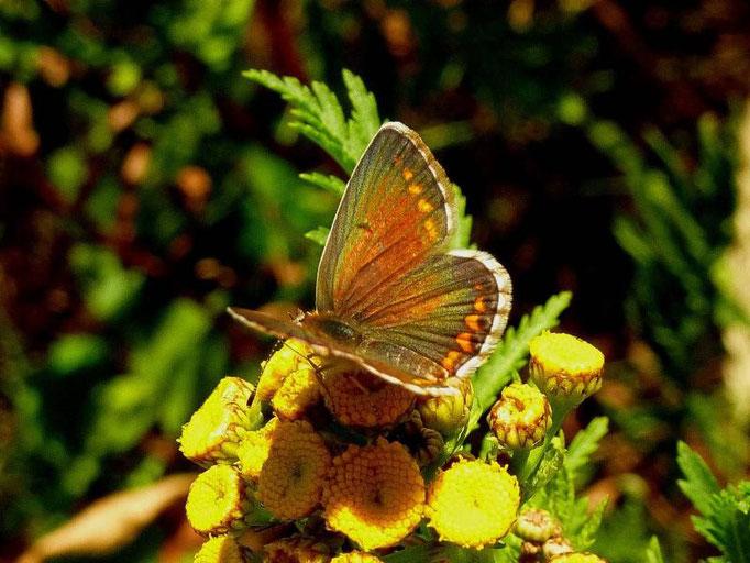 Aricia agestis an Rainfarn. - Kossa, Schneise im Kiefernwald 20.07.2010 - D. Wagler