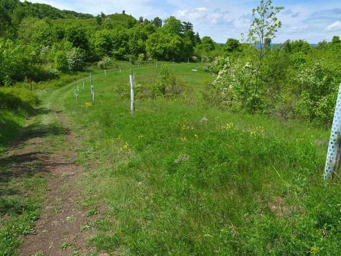 Glaucopsyche alexis. - Tschechische Republik, Nordböhmen, Duppauer Gebirge, Burberg 10.05.2014 - F. Herrmann