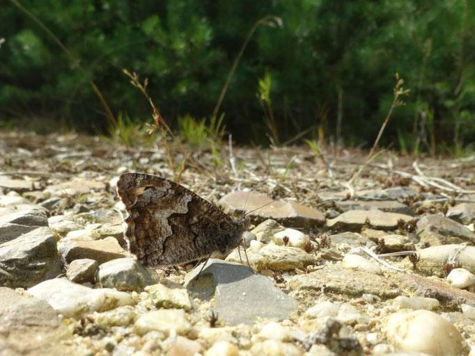 Ockerbindiger Samtfalter (Hipparchia semele). - Schwepnitz, Königsbrücker Heide 15.08.216 - St. Pollrich