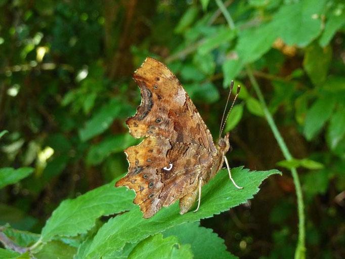 Polygonia c-album. - Bienitz, Wald südl. Kanal, Westhang 01.08.2010 - D. Wagler