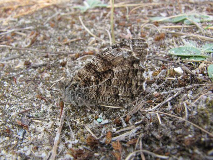 Hipparchia semele (Ockerbindiger Samtfalter). - Uhyst, Uferbereich am Bärwalder See 31.07.2010 - F. Herrmann