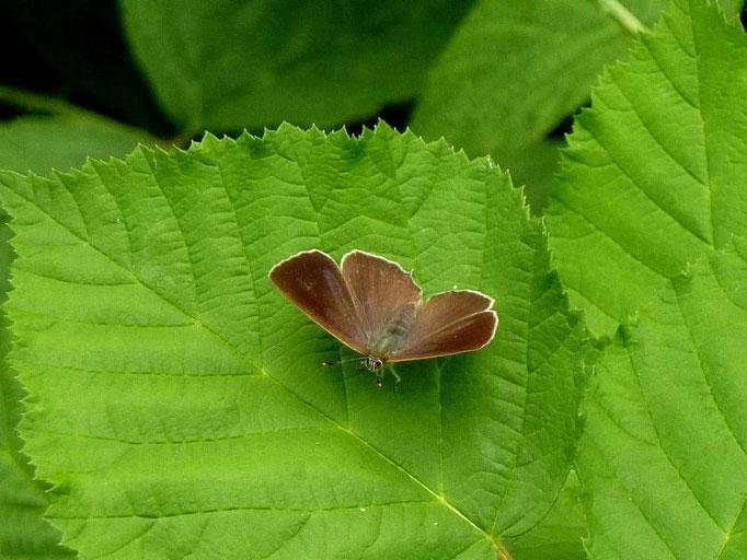 Favonius quercus. - Bienitz, Rodelbahn 18.07.2010 - D. Wagler
