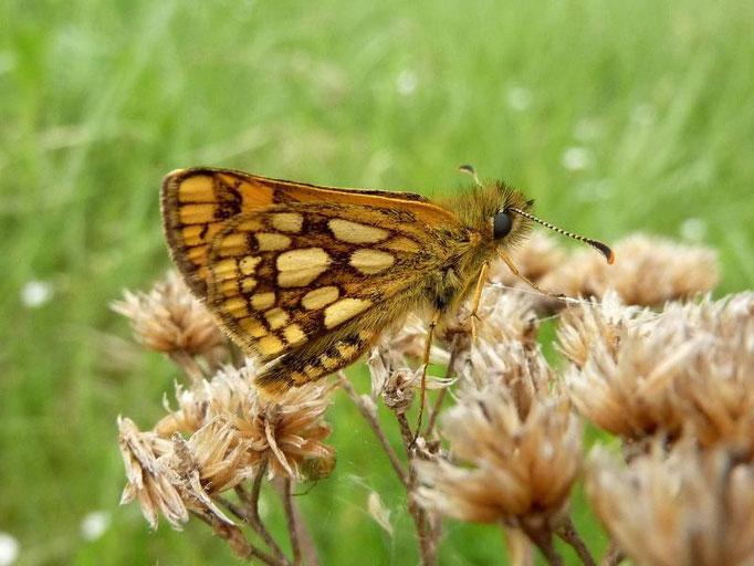 Carterocephalus palaemon. - Dübener Heide, Laußig 18.05.2012 - D. Wagler
