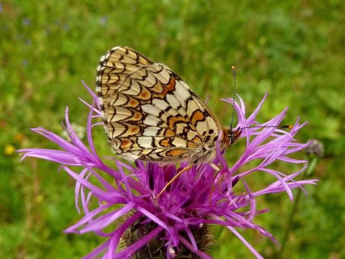 Melitaea phoebe. - Hoher Ifen, Kleinwalsertal (Österreich) 14.08.2014 - D. Wagler