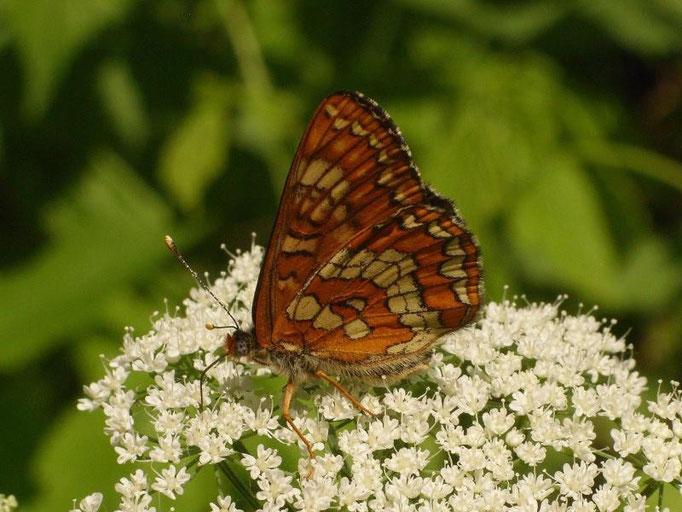 Euphydryas maturna auf Wiesen-Kerbel. - Schkeuditz, Wehlitz, Auwald 25.05.2009 - D. Wagler