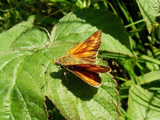 Ochlodes sylvanus. - Oberholz, äußere Orchideenwiese 19.07.2007 - D. Wagler