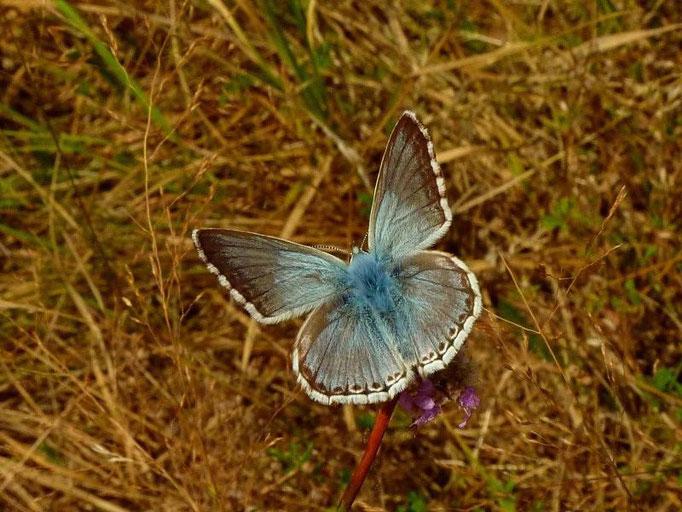 Polyommatus coridon an Karthäuser-Nelke. - Bienitz, Rodelbahn 18.07.2010 - D. Wagler