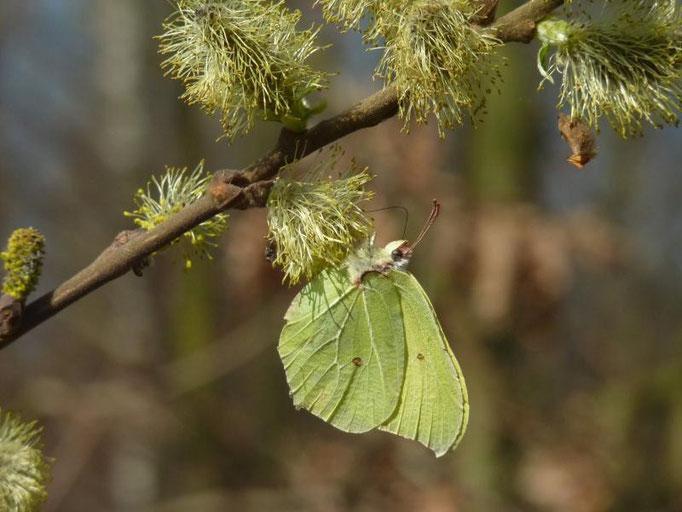 Gonepteryx rhamni saugt an Sal-Weide. - Bienitz, Wald südl. Kanal, am ehem. Kohlenplatz 03.04.2012 - D. Wagler