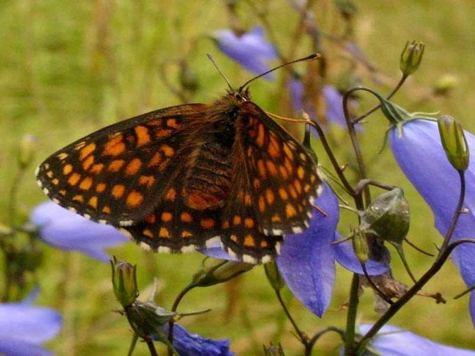 Melitaea britomatis. - Mörnsheim, Altmühltal (Bayern) 06.07.2009 - D. Wagler