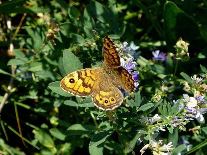 Lasiommata megera auf Bastard-Luzerne. - Markkleeberg, Kanupark 09.09.2009 - D. Wagler