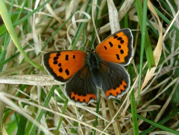 Lycaena phlaeas. - Bienitz, Rodelbahn 26.04.2009 - D. Wagler
