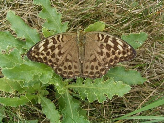 Argynnis paphia in der f. valesina. - Oberholz, äußere Orchideenwiese 12.08.2006 - D. Wagler