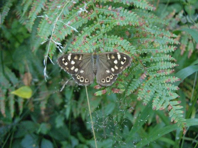 Pararge aegeria. - Oberholz, Butterweg 16.07.2009 - D. Wagler