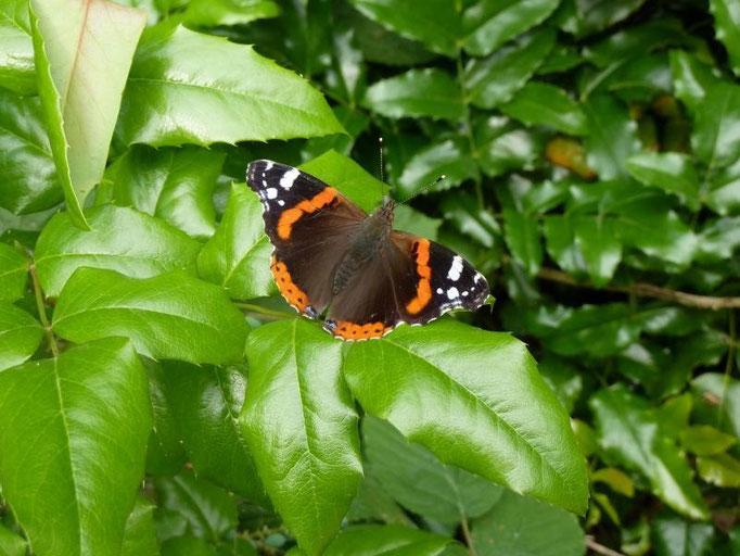 Vanessa atalanta. - Bad Düben, Kurpark 16.06.2012 - D. Wagler