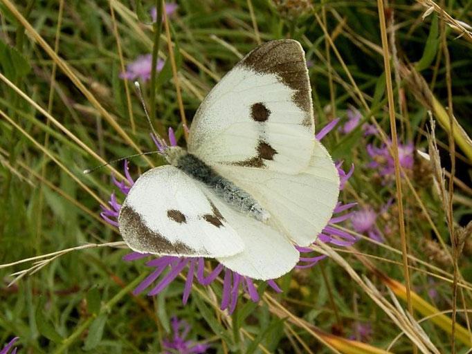 Pieris brassicae auf Wiesen-Flockenblume. - Oberholz, äußere Orchideenwiese 12.08.2006 - D. Wagler