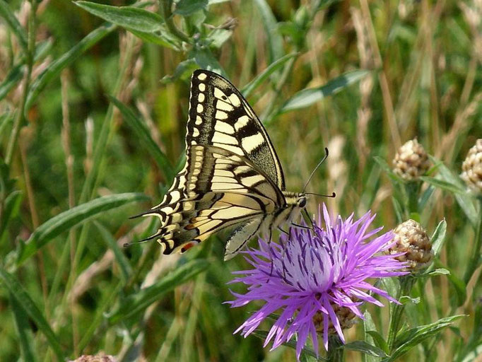 Papilio machaon an Wiesen-Flockenblume. - Müllberg, Möckern 01.07.2009 - D. Wagler