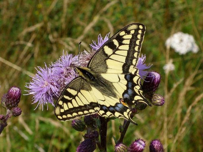 Papilio machaon an Acker-Kratzdistel. - Müllberg, Möckern 01.07.2009 - D. Wagler