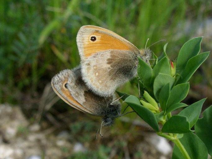 Coenonympha pamphilus. - Markranstädt, Kippe Kulkwitz 07.05.2009 - D. Wagler
