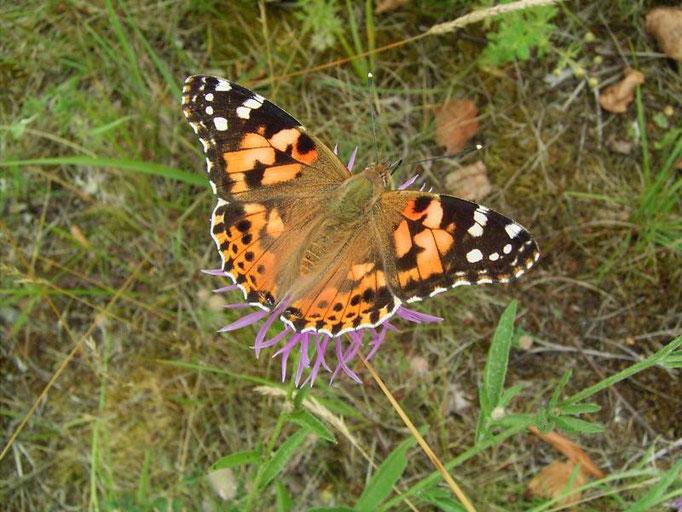 Vanessa cardui an Wiesen-Flockenblume. - Bienitz, Südhang, Sandweg 23.07.2007 - D. Wagler