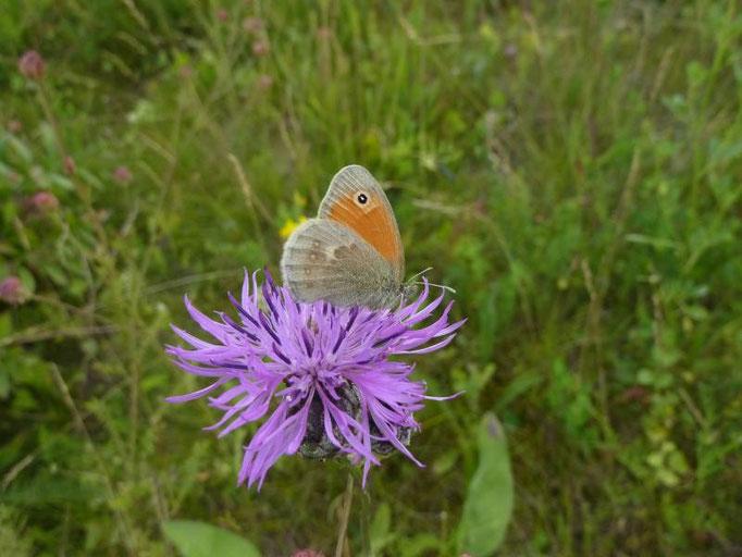 Coenonympha pamphilus auf Wiesen-Flockenblume. - Schladitzer See, Südostböschung 09.07.2013 - D. Wagler