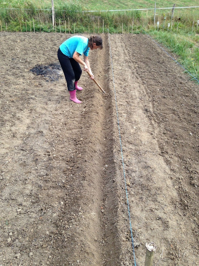 préparation plantation bulbes safran