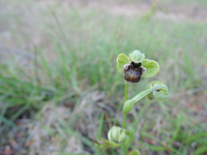 ophrys brun