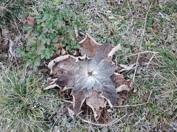 Plante sur le Causse de Sorrèze.