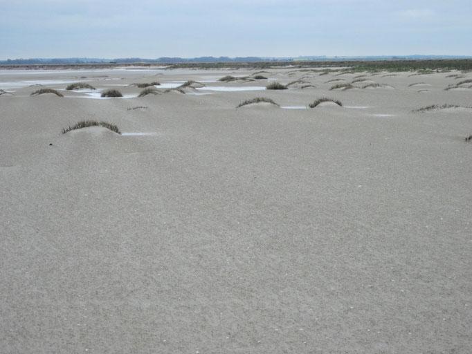 Spartine de Townsend, Baie de Somme