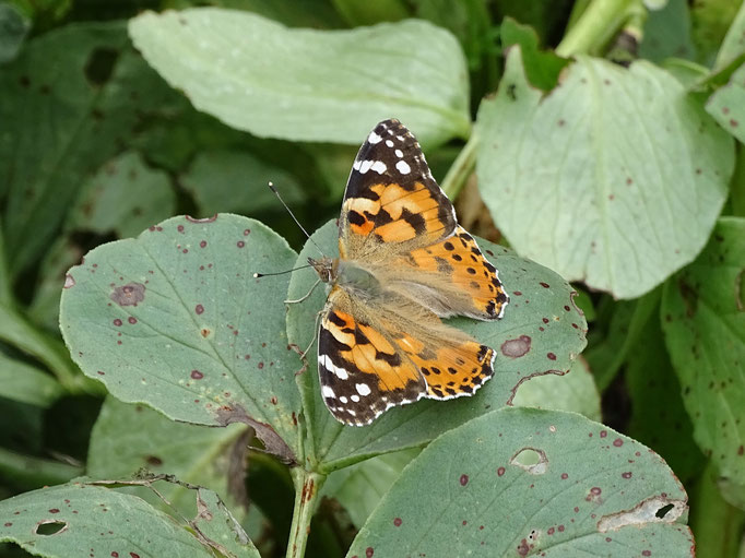 Painted Lady Butterfly (photo by Steve Self) June 2016