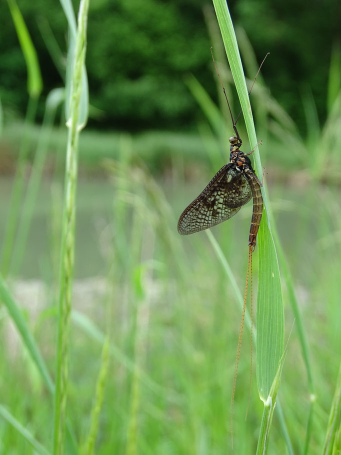 Mayfly (photo by Steve Self) June 2016