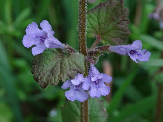 Ground Ivy (photo by Steve Self)