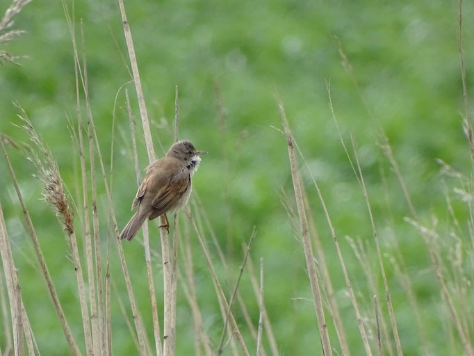 Whitethroat (photo by Steve Self) April 2016