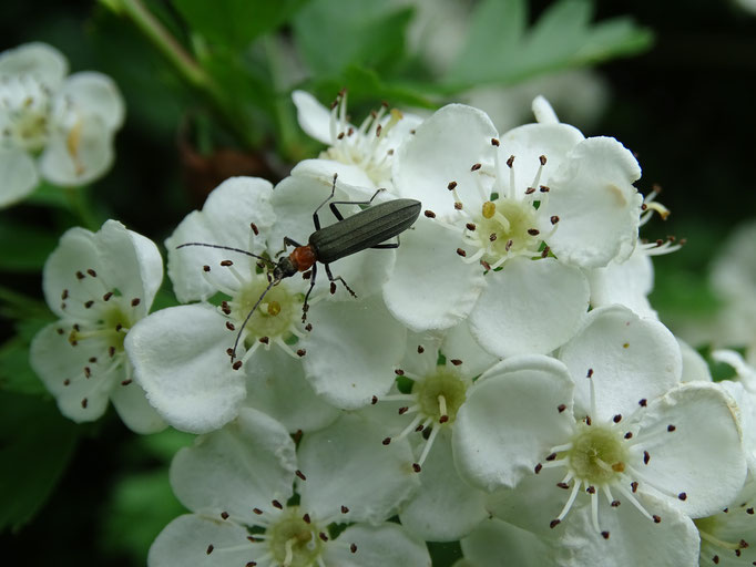 Soldier Beetle on Hawthorn Flowers (photo by Steve Self) June 2016