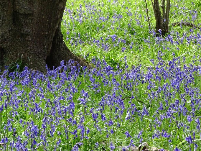 Bluebells (photo by Steve Self)