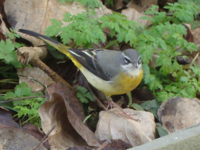 Yellow Wagtail (photo by Steve Self)