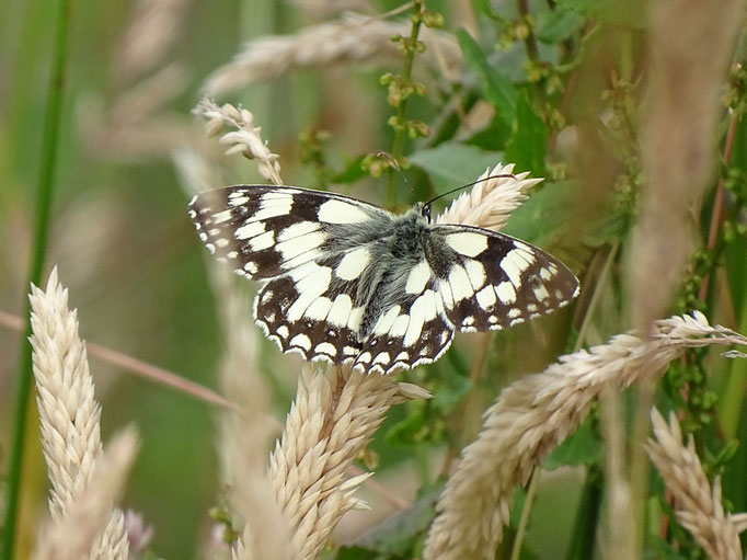 Marbled White Butterfly (photo by Steve Self) July 2016
