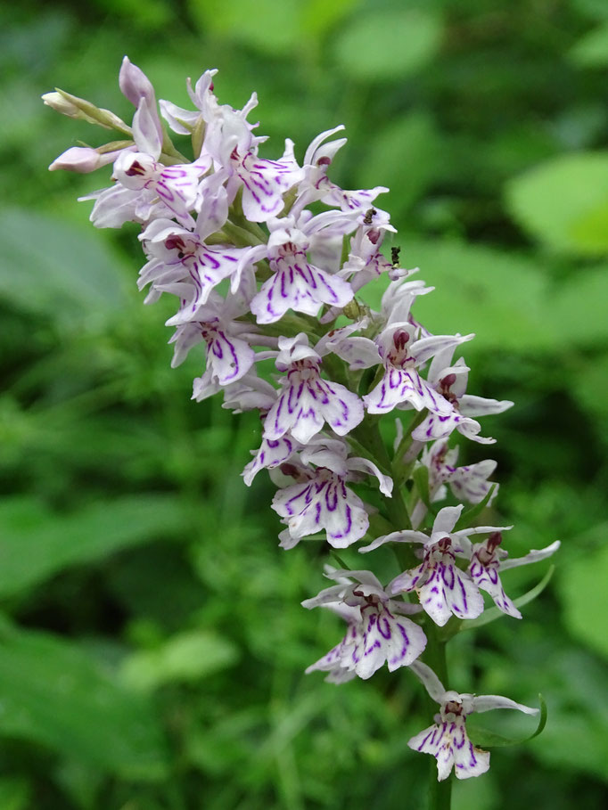 Common Spotted Orchid (photo by Steve Self) June 2016