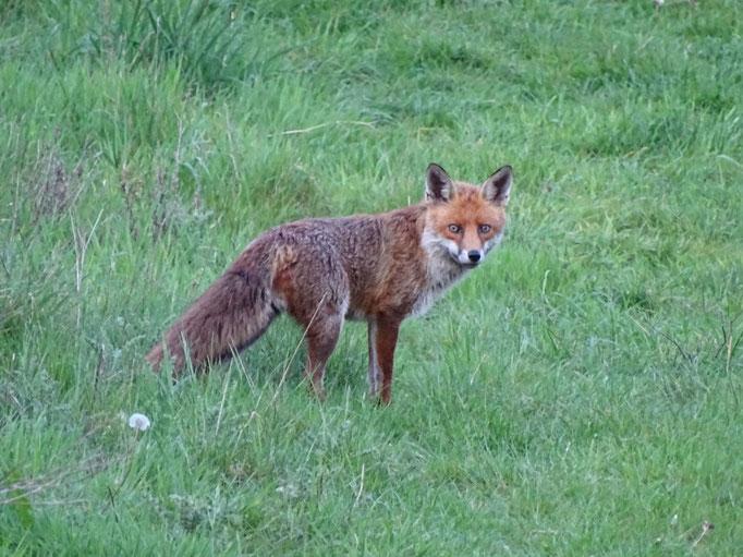 Red Fox (photo by Steve Self)