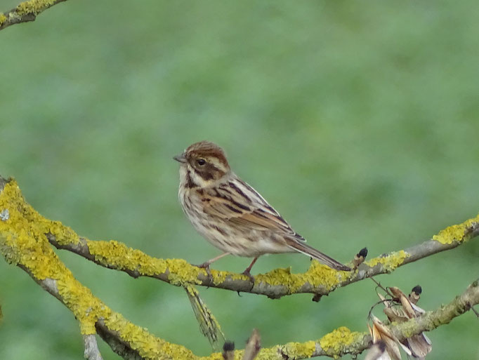 Reed Bunting (photo by Steve Self) Mar 2016