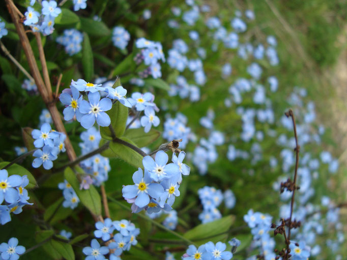 Forget-me-not (photo by Steve Self)