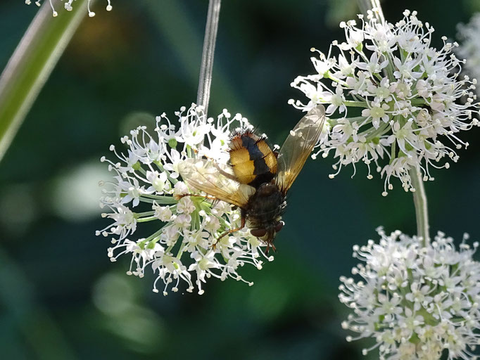 Pellucid Fly (photo by Steve Self)