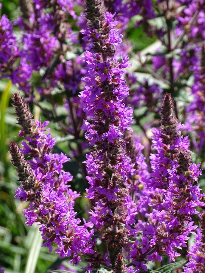 Purple Loose-Strife (photo by Steve Self)