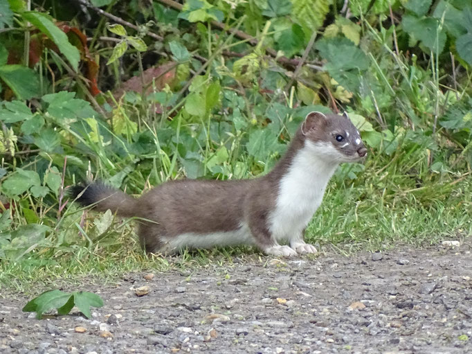 Stoat on the car park (photo by Steve Self)