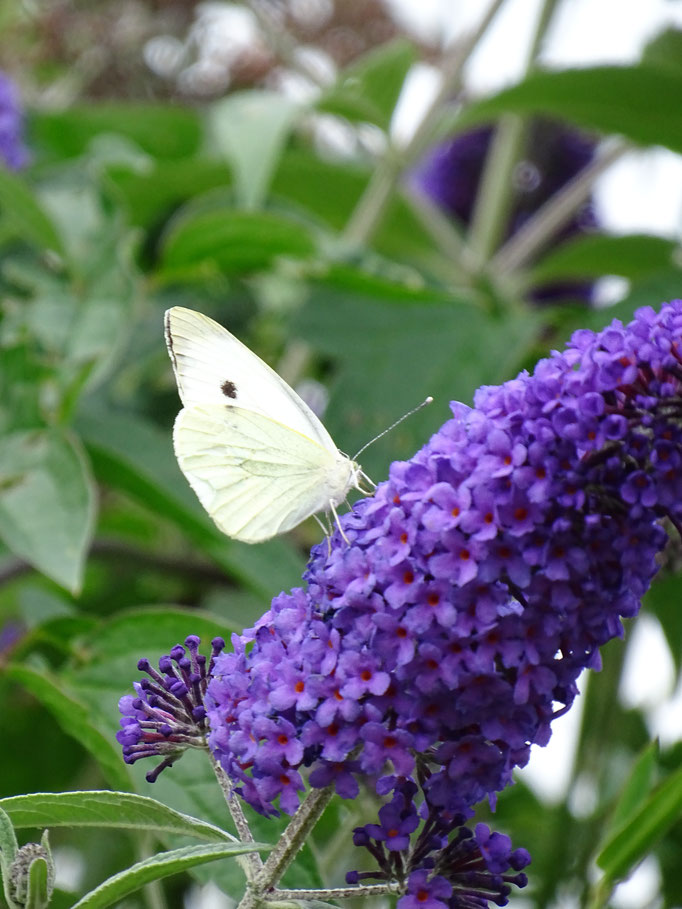 Large White Butterfly (photo by Steve Self) August 2016