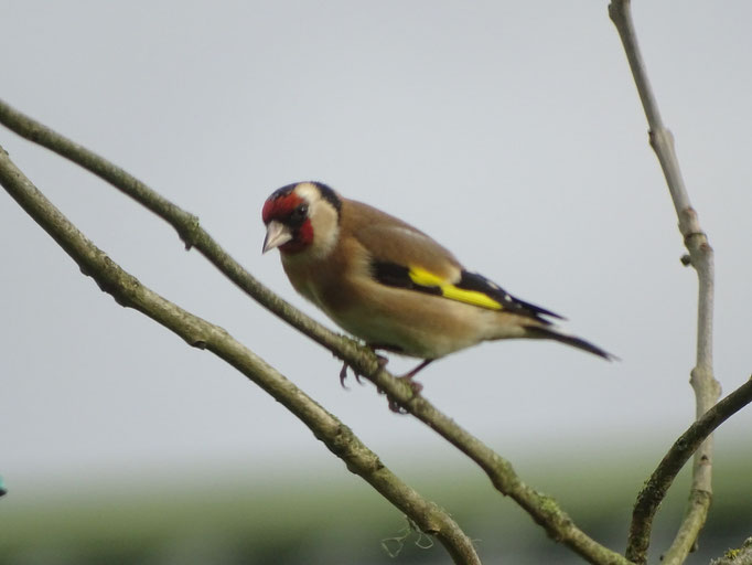 Goldfinch (photo by Steve Self)
