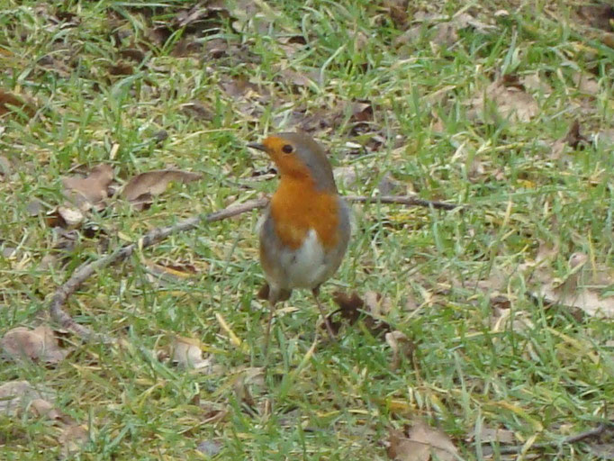 Robin (photo by Steve Self)