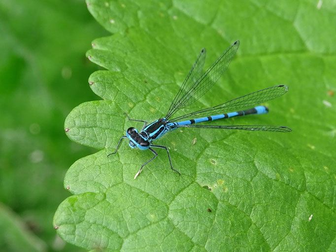 Azure Damselfly (photo by Steve Self) June 2016